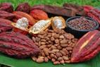 Cacau - theobroma cacao