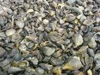 Palmiste Shell