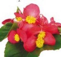 Flor - Begonia Bidens - Vermelho - Sunbegosu -