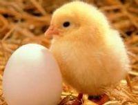 Ovos para incubação -