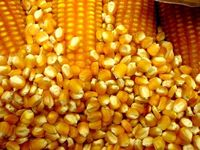 TEMOS MILHO GMO - GMO CORN - ORIGIN BRAZIL -