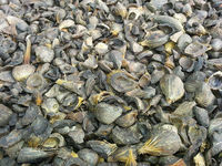 Palmiste Shell -